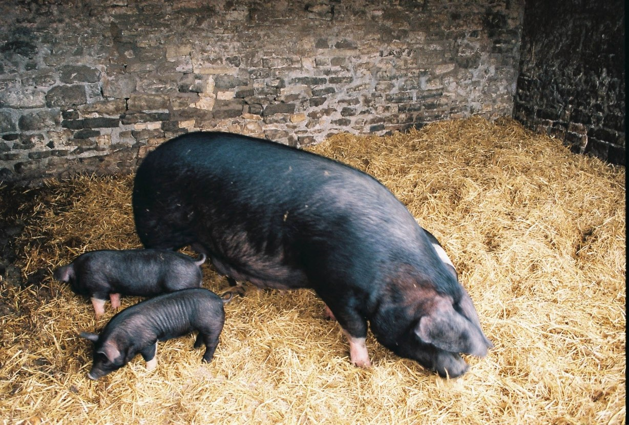 Adorable new-born piglets complete the experience.