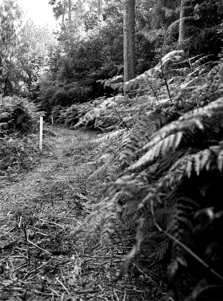 (F) Ilford HP5  Athyrium