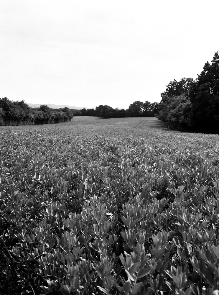 (F) Ilford HP5 Bean field.