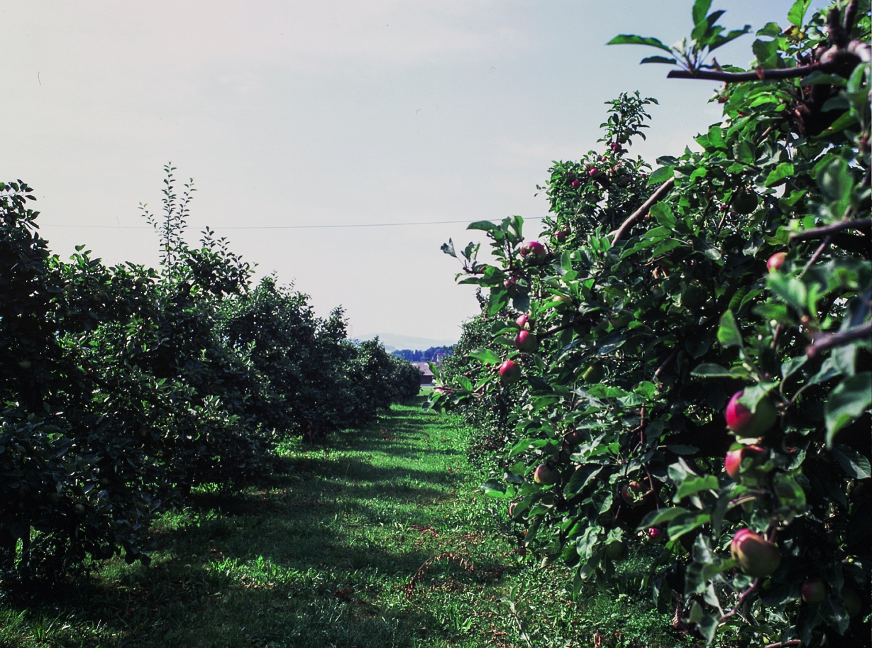 The rural area surrounding the town of Horn and banking Lake Constance is fertile in the most prodigious sense. There are orchards and groves in every direction you look, separated only by little fields and an occasional house. (F) Fuji Velvia